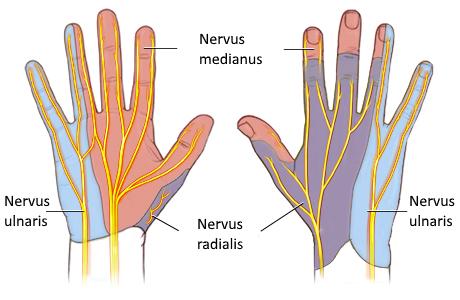 Nerven der Hand